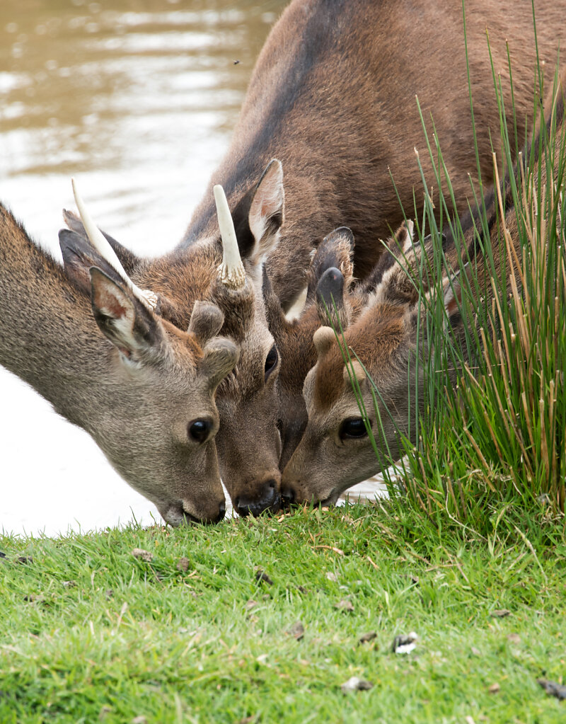 How Many Deer