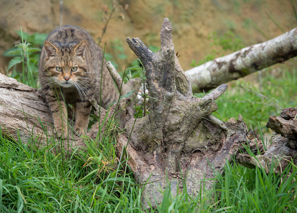 Scottish Wildcat - 2