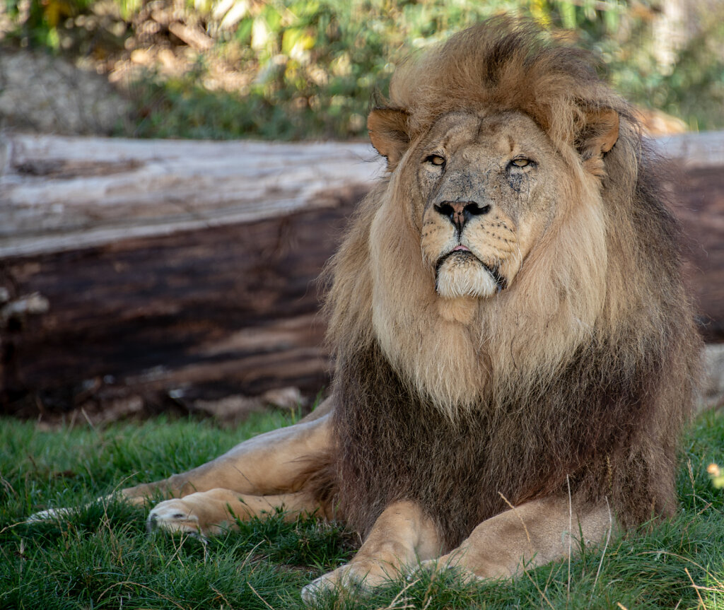 African Lion - 1