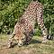 Cheetah - 1