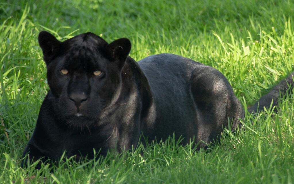 Black Jaguar - 1