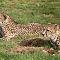 Cheetah - 3
