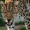 Leopard - 12