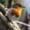 Robin-01406.jpg