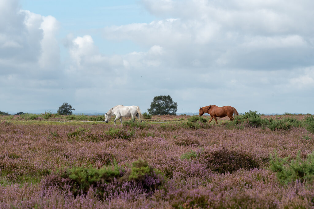 New-Forest-Ponies-1-of-1-4.jpg