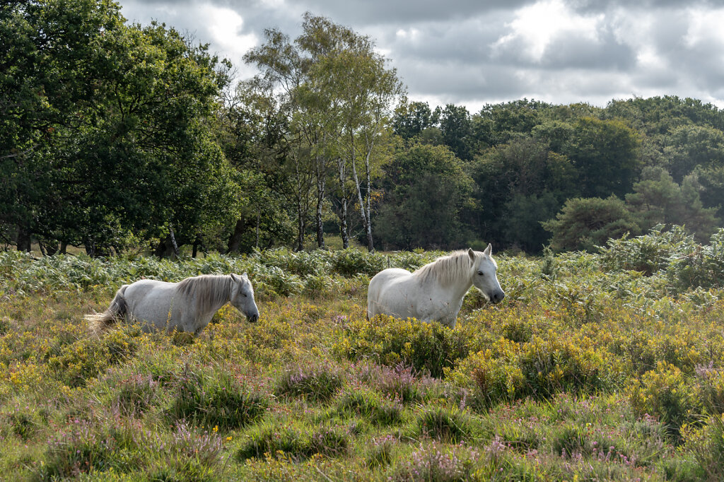 New-Forest-Ponies-1-of-1-6.jpg
