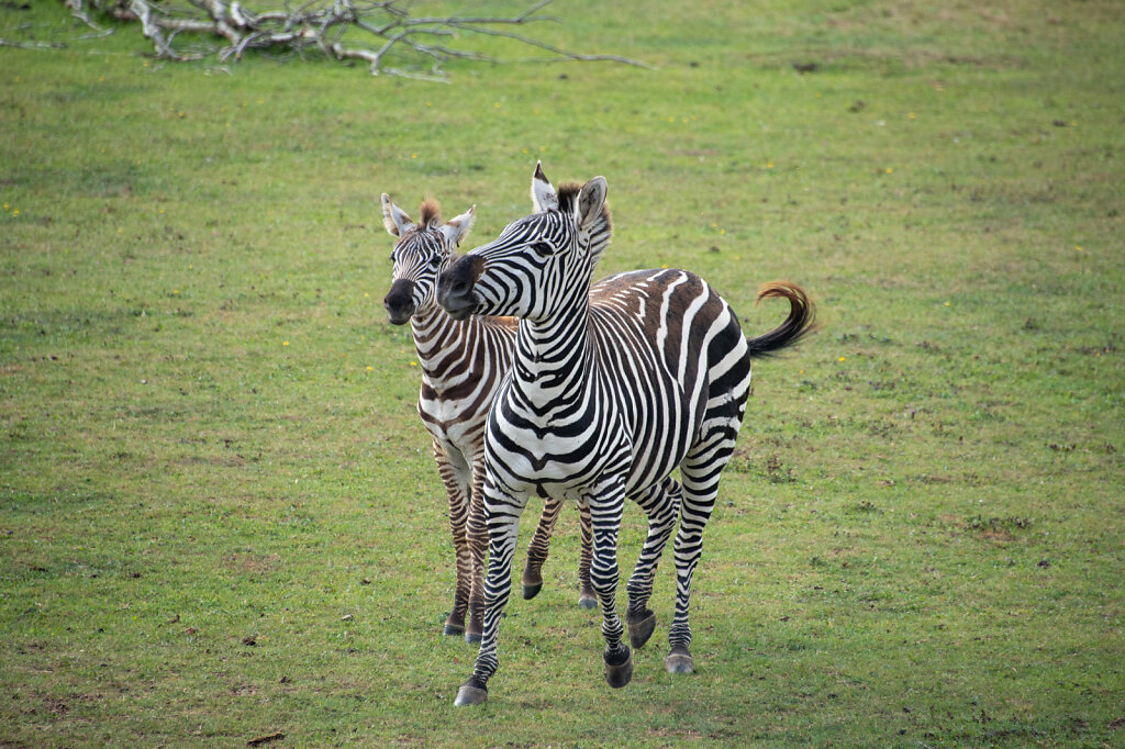 zebra-mum-and-baby-1-of-1.jpg