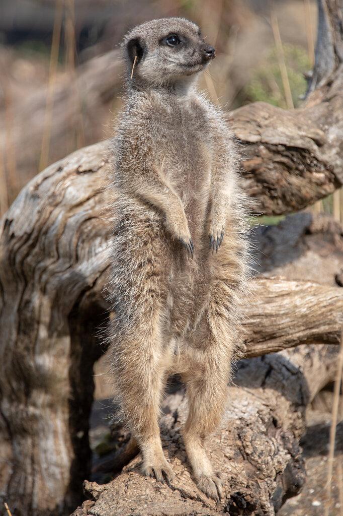 meerkat-1-of-1-2.jpg