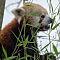 Red-Panda-1-of-1-3.jpg