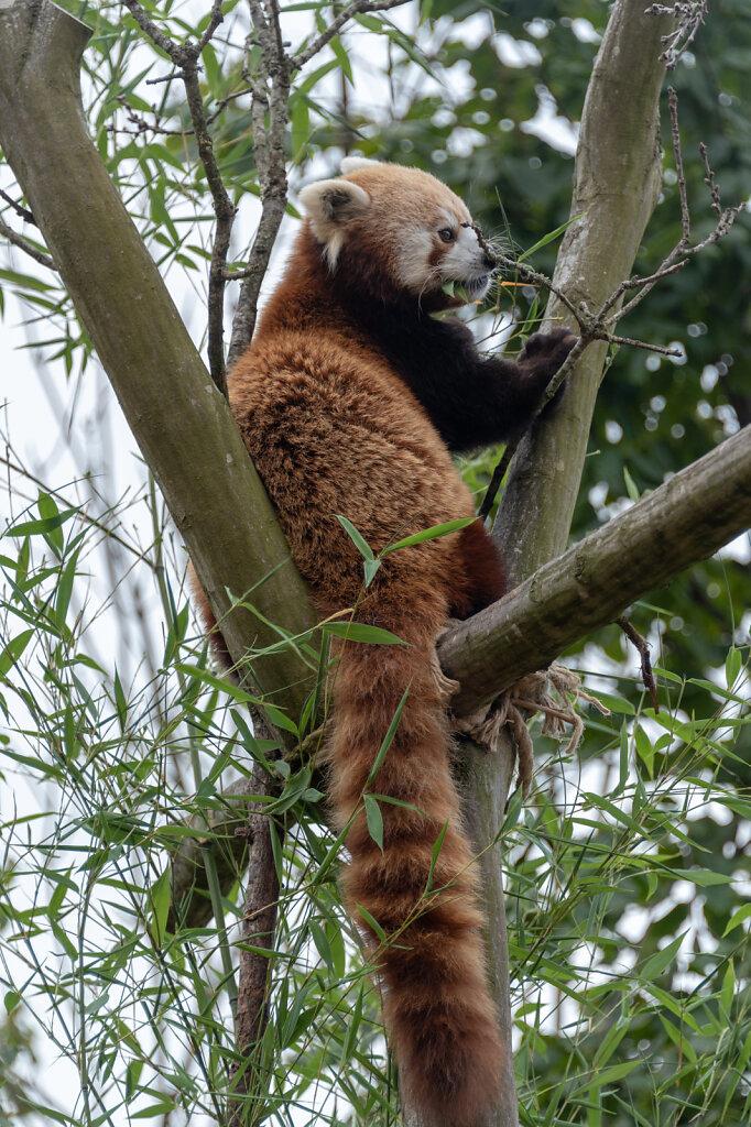 Red-Panda-1-of-1-2.jpg