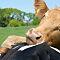 Cow Cuddle
