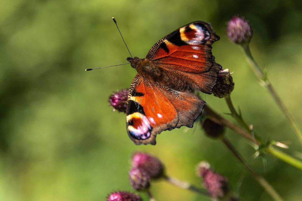 Peacock-Butterfly.jpg